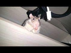 Vai, diz que rato é feio!