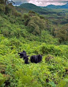 Virunga Mountains, Rwanda. The Congo River Basin climate is equatorial tropical, with two rainy seasons including very high rainfalls, & high temperature year round. The basin is home to the endangered mountain gorilla.