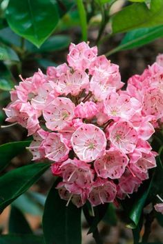 Connecticut: Mountain Laurel   A plant with a past—Native Americans made spoons from the wood—this dense evergreen shrub adapts to a variety of light conditions (partial shade to full sun).