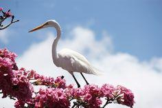 Garça-branca-grande (Ardea alba). Parque do Açude Velho, Campina Grande-PB, Brasil.