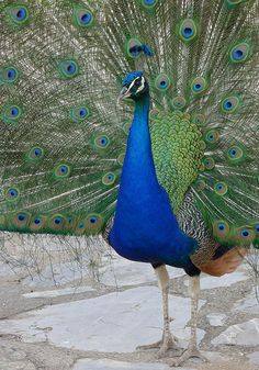"""Ancient Greeks believed that the peafowl did not decay after death, so it became a symbol of immortality. This symbolism was adopted by early Christianity, and thus many early Christian paintings and mosaics show the peacock. The peacock is still used in the Easter season especially in the east. The """"eyes"""" in the peacock's tail feathers symbolise the all-seeing God and - in some interpretations - the Church."""