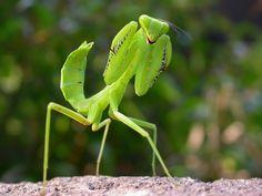 mantis | Chinese time praying mantis fist