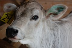 I wish to have a baby Swiss brown cow please