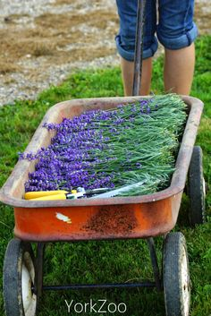 York Zoo-How May I Help You? blog. #lavender #lavenderharvest