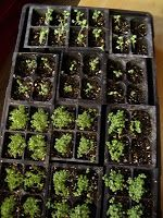 Seedling starting guide. When to plant your seeds based on frost-free date being May 24 for our Zone 5 in southern Ontario. #garden