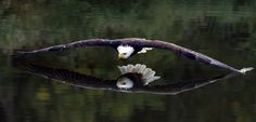 An eagle catches his own beautiful strong reflection... wonder what he's thinking. Amazing pic❤