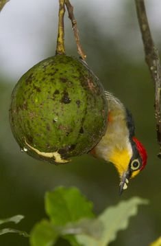 Foto benedito-de-testa-amarela (Melanerpes flavifrons) por Tarcisio Pavanelli | Wiki Aves - A Enciclopédia das Aves do Brasil