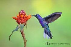 Resultado de imagen para hummingbird flowers that attract