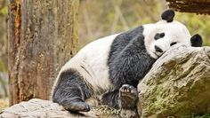 Dream Job Alert: Panda Nannies Wanted In China | Fast Company Warning: risk of death due to cuteness overload