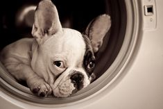 ♥ French Bulldog