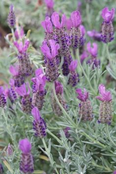 Lavandula stoechas 'Anouk' PP (Anouk Spanish Lavender) . good lavender for hot and humid climates Rock Garden Plants, Cottage Garden Plants, Garden Shrubs, Summer Flowers To Plant, Planting Flowers, Spanish Lavender, Rabbit Resistant Plants, Dark Purple Flowers, Lavender Flowers