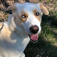 Millersville, Maryland - Siberian Husky. Meet Brutus, a for adoption. https://www.adoptapet.com/pet/20919846-millersville-maryland-siberian-husky-mix