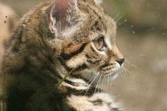 Community Post: We Need To Talk About The Smallest Wild African Cat