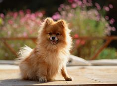 Pomeranian. This one looks just like my Tascha!