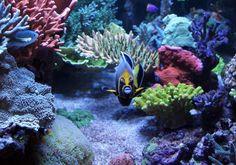 fresh and saltwater fish, supplies, and aquariums Reef Aquarium, Saltwater Aquarium, Marine Fish Tanks, Reef Tanks, Nano Tank, Angelfish, Aquariums, Adventure, Plants