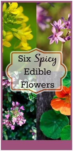 Decorate Your Food! Six Spicy Edible Flowers Six Spicy Edible Flowers I love decorating my food with edible flowers; they transform an ordinary meal into a celebration. Edible flowers are beautiful but many of them don't have a lot of flavor. I like to use edible flowers that have a little spicy kick to them. http://livingawareness.com/decorate-food-six-spicy-edible-flowers/
