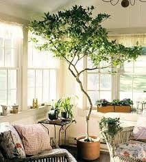 Bildergebnis für zimmerpflanzen bäume