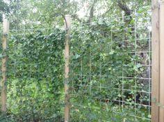 Storbladig murgröna (Hedera helix, Hibernica)