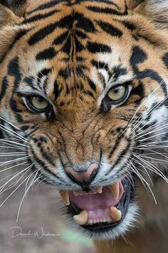 Find more awesome tigre images on Most Beautiful Animals, Beautiful Cats, Animals And Pets, Cute Animals, Big Cats Art, Gatos Cats, Tiger Art, Wild Creatures, Tier Fotos