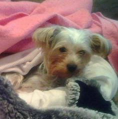 MISSING DOG>>BELLA (Tilton)  Park st at Homles st  Bella is a small Yorkie terrier. Bella went missing over a week ago. She is tiny with grays/tan colors.She is about 5lbs.She was wearing a pink collar and blue leash. Bella went missing from Northfield/Tilton area. Please if you have seen her plz contact me by email. mridef2005@yahoo.com