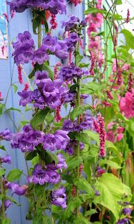 Penstemon 'Hildago' smells like grape and blooms in spring and summer