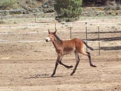 Super the baby mule