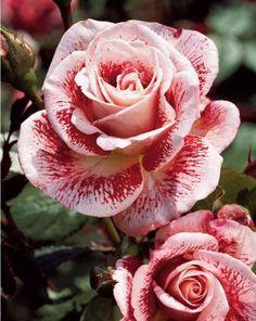 (102) Sociedad Argentina de Horticultura roses