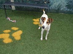 Pet Adoption has dogs, puppies, cats, and kittens for adoption. Adopt a pet Toy Fox Terriers, Terrier Mix, Winter Haven Florida, Pet Adoption, Meet, Puppies, Dog, Cats, Animals