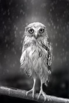 Owl in the rain