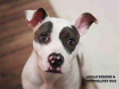 American Pit Bull Terrier dog for Adoption in Nashville, TN. ADN-821906 on PuppyFinder.com Gender: Female. Age: Young