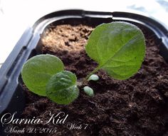 365 Project---Day 89: Week 7 for my little Brown Eyed Susans. Three strong and healthy leaves!