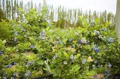 Pruning Blueberry Plants      & How to Grow Blueberry Bushes