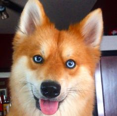 This Pomeranian-Husky Mix Is The Pet Fox You Always Wanted                                                                                                                                                                                 More