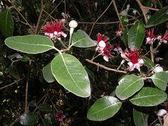 Uruguay's wildlife & Natural sanctuaries - Santuarios naturales & flora y fauna indígena de Uruguay: Pinapple guava / Guayabo (Acca sellowiana)