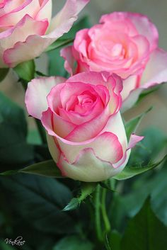 ✯ Pink Tipped Roses