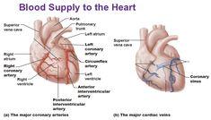 blood supply to heart, coronary arteries, cardiac veins, coronary sinus, circumflex artery, interventricular artery