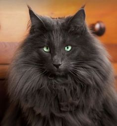 What a fabulous coat on this Maine Coon kitty, and just look at those piercing green eyes…..