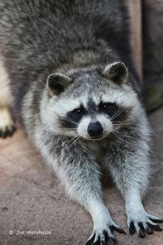 Stretching Raccoon