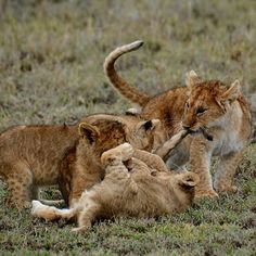 """Siblingloveinthe#Serengeti@asiliaafrica#namiriplains#almaty#almatykz"" by samanthavaneldik! Find more inspiring images at ViewBug - the world's most rewarding photo community. http://www.viewbug.com/photo/59335237"