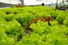 Nothing found for Palantazzunk Mikor Mit Hogyan Green, Herbs, Plants, Garden, Farm, Hydroponics