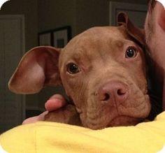 Atlanta, GA - Vizsla/Terrier (Unknown Type, Medium) Mix. Meet Angel a Puppy for Adoption. FOSTER