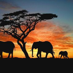 Safari in Africa. I will go on an African safari. African Elephant, African Animals, African Safari, Elephant Family, Elephant Love, Baby Elephants, Giraffe Art, Elephant Wallpaper, Elephant Silhouette