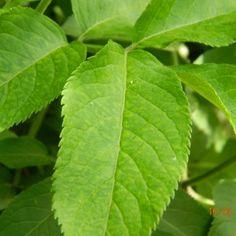 Planteaza un nuc. Iata cum te poate ajuta! - Infuzie de Sănătate Detox, Plant Leaves, Medical, Therapy, Plant, Medicine, Med School, Active Ingredient