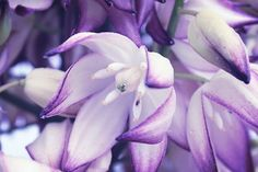 Flower Photography  Nature Photography Lavender by MorganRosePhoto, $30.00
