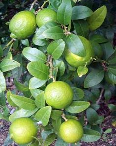Thornless Mexican Key Lime  Citrus aurantifolia (P) A painless lime for beverages and Key Lime Pie! This handsome, shrubby tree sports aromatic foliage and flowers with small, thin skinned, fragrant fruit and a traditional, sour lime flavor. This variety can bear its delicious crop year 'round. Key limes are not tolerant of frost and should be treated as a houseplant in a sunny window during cool months. Cold hardy to approximately 30ºF.