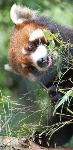 Pandas and bamboo, good combo