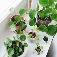 Indoor Vertical Gardening Tips and Ideas Organic gardening isn't always about food to eat. Some people enjoy growing flowers and other forms of plant life as well. You can grow anything bereft of harmful chemicals as long as you're d Indoor Garden, Indoor Plants, Cactus Plante, Chinese Money Plant, Growing Plants Indoors, Decoration Plante, Plants Are Friends, Plantation, Green Plants