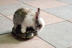 Fluffy Baby Bunny Rides a Baby Turtle! I want a turtle and my husband wants a bunny! See it works! Baby Animals, Funny Animals, Cute Animals, Funny Bunnies, Cute Bunny, Bunny Rabbit, Adorable Bunnies, Small Rabbit, Animal Pictures