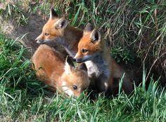 Fox kit :3