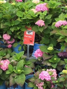 Hydrangeas on sale at Lowes in June